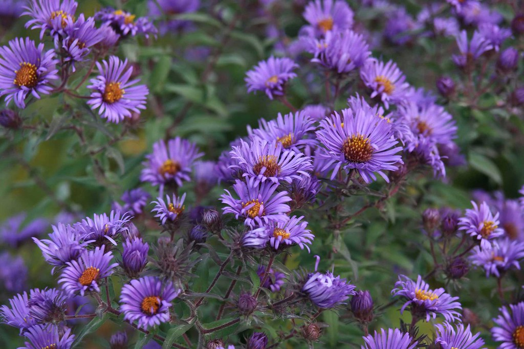 purplestemmed aster flowers  purplestemmed aster flowers …  flickr, Beautiful flower