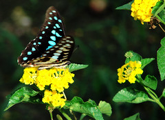 010. Common Jay Butterfly - visitor in my butterfly garden ...
