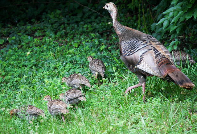sexing-wild-turkey-chicks-john-persons-comix