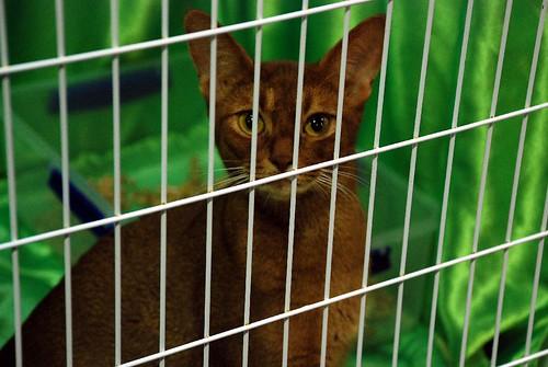 Canterbury All Breeds Cat Club