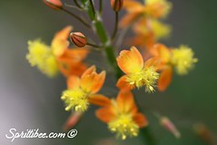 bulbine-sm | by SprittiBee