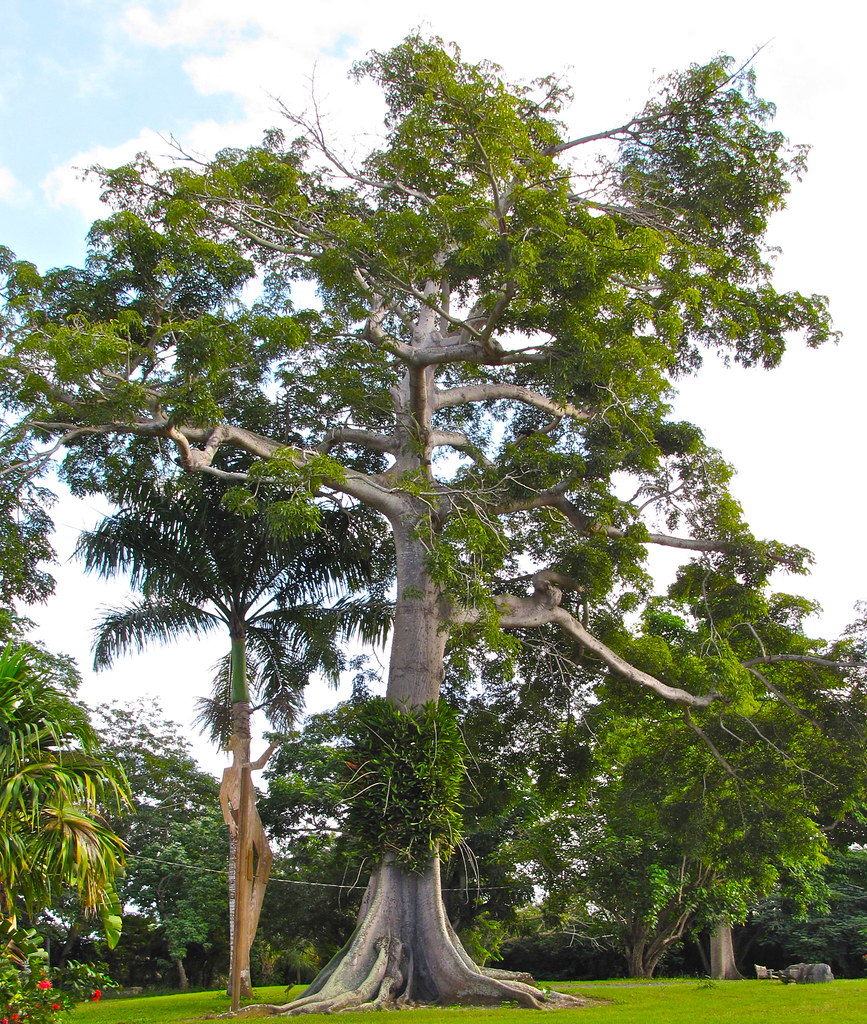 Big kapok tree | In St. George Village Botanical Garden in ...