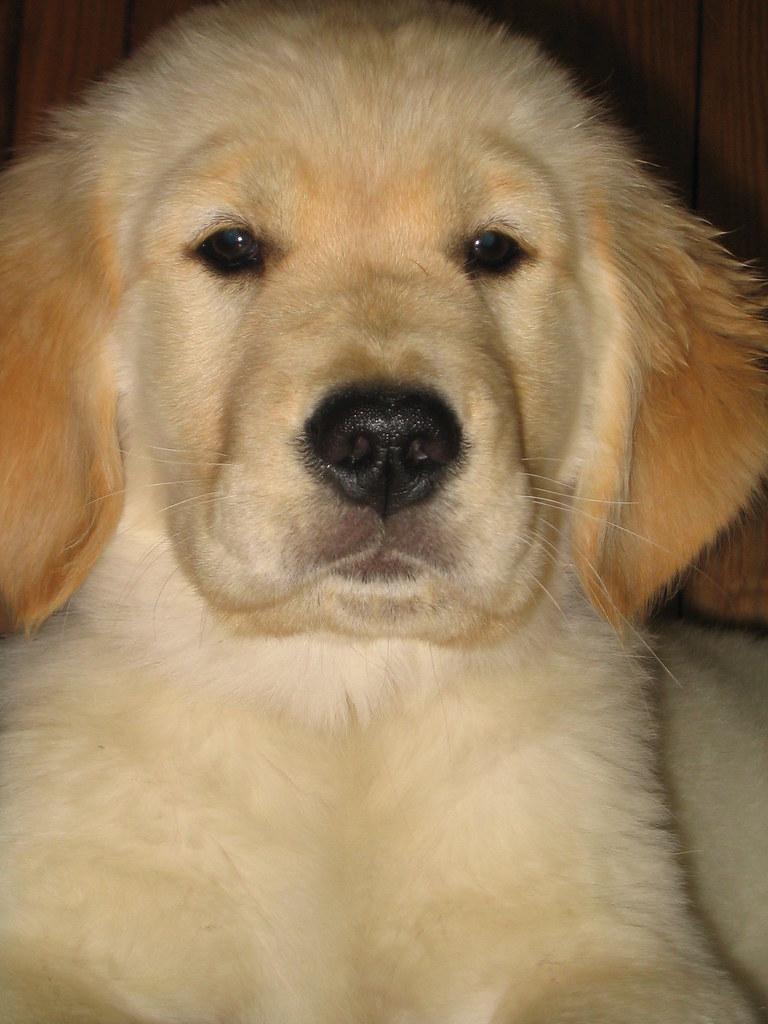 golden retriever golden retriever puppy rob kleine flickr. Black Bedroom Furniture Sets. Home Design Ideas