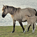 Konik horse with foal