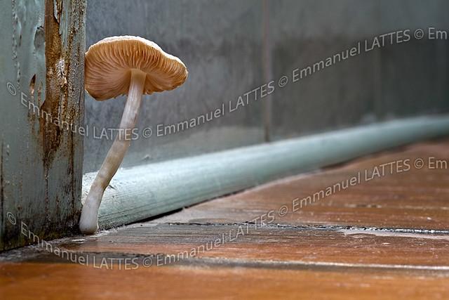 champignon de type myc ne mycena sp poussant sur un parq flickr. Black Bedroom Furniture Sets. Home Design Ideas