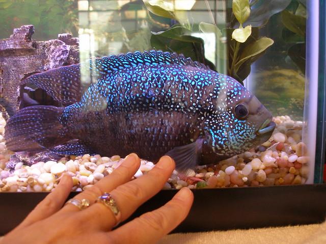 Jack dempsey fish flickr photo sharing for Jack dempsy fish