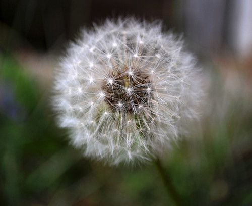 Dandelion | by Blue_Poison