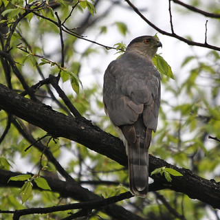 Cooper's Hawk series | by Kevin Kodak