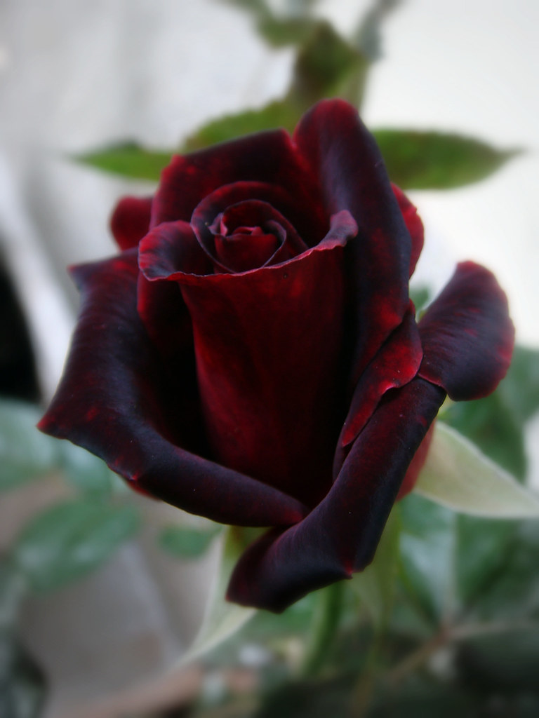 Black baccara rose carlota flickr for How to make black roses