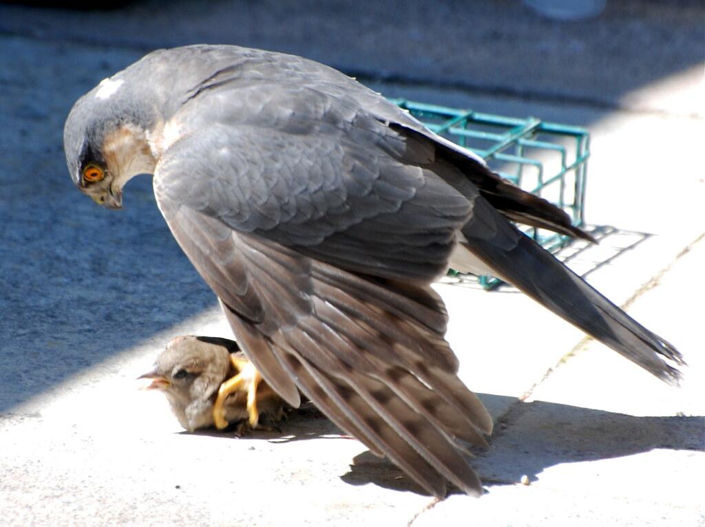 Baby sparrow hawk - photo#7