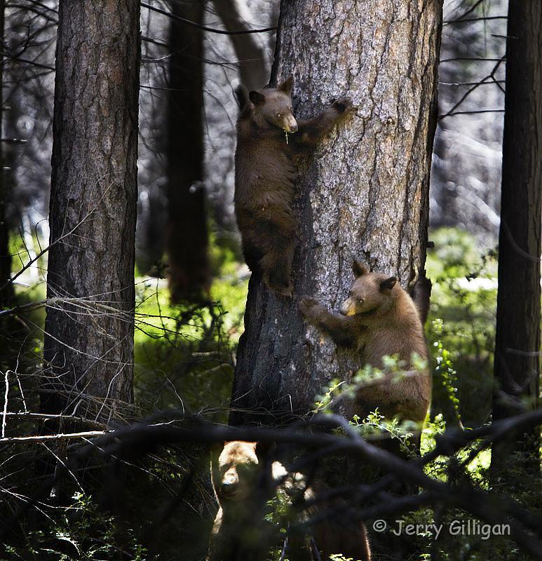 Mama Bear Protecting Her Cubs