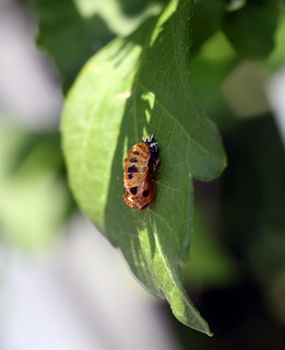 Harmonia axyridis (pupa), Multicolored Asian lady beetle, Troutville, Virginia | by shyzaboy
