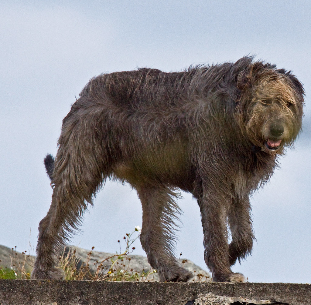Img 2349 Edit Irish Wolf Hound Shay Connolly Flickr