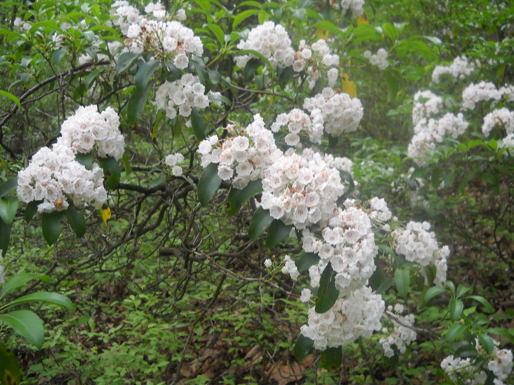 Pennsylvania State Flower Mountain Laurel Matthew De