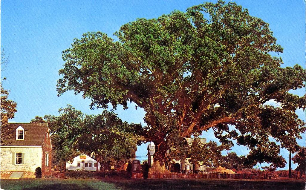 Wye Oak State Tree Wye Mills Md The Wye Oak And