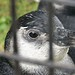 Baby Magellanic Penguins - 9wks old!