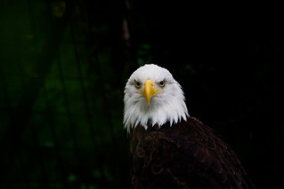 Bald Eagle | by arnmt