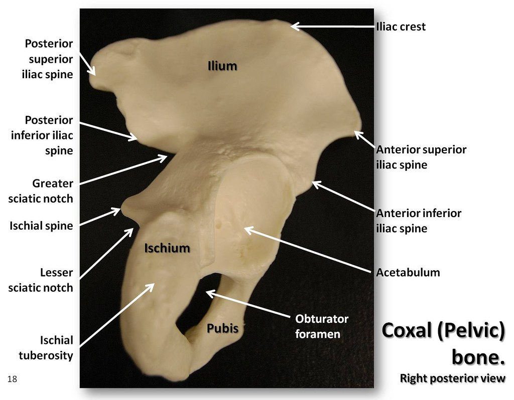 Coxal  Pelvic  Bone  Posterior View With Labels
