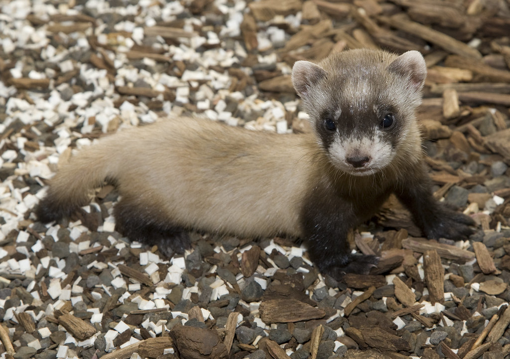 Image Result For Cute Baby Ferret