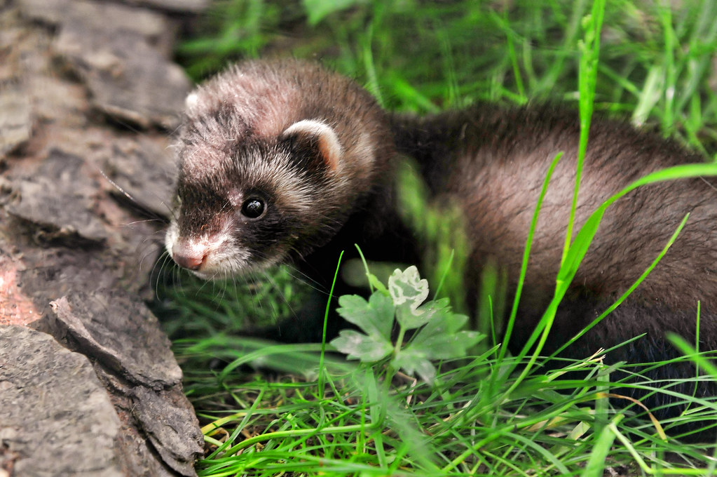 Cute Ferret One Of The Animals Of The Servion Zoo Was A