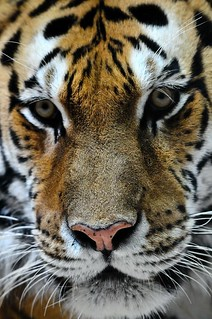 Amur Tiger - Sivaki | by Potter Park Zoo