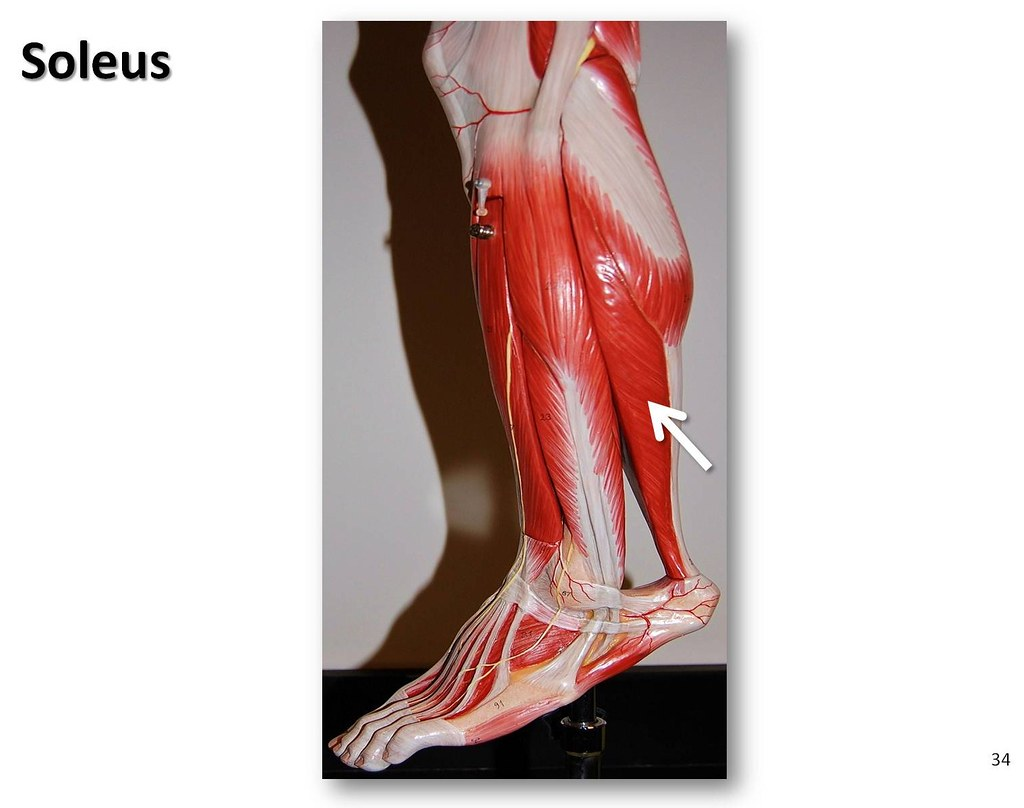 Soleus - Muscles of the Lower Extremity Anatomy Visual Atl… | Flickr