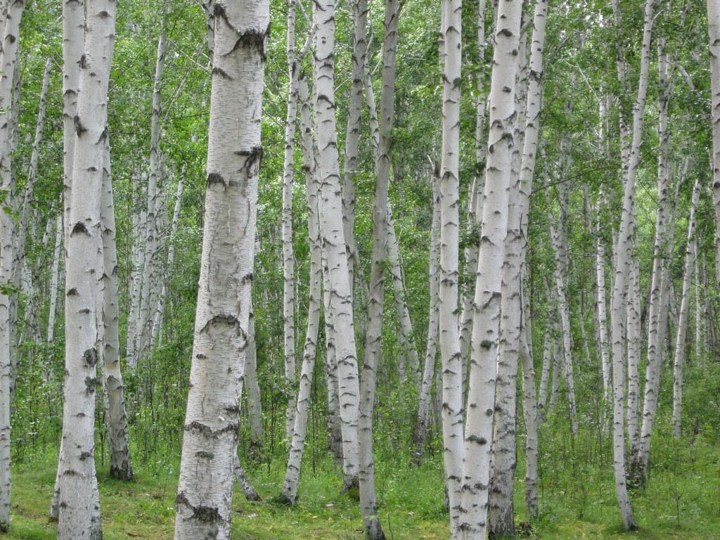 birch tree wallpaper traditional - photo #18
