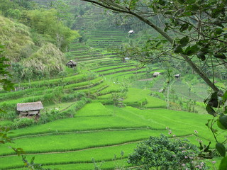 Rice Paddy | by prilfish