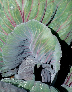 Cabbage | by F10wer