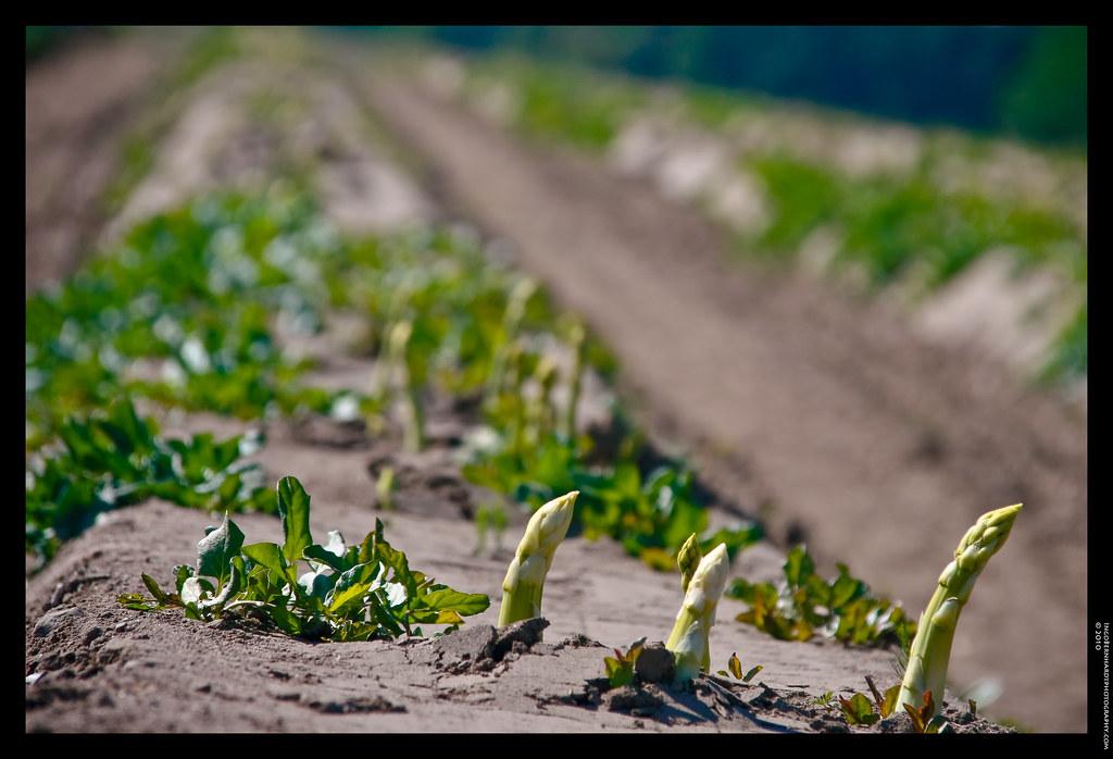 asparagus harvest may germany ingo bernhardt flickr. Black Bedroom Furniture Sets. Home Design Ideas