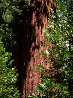 Sequoia bark | by Adam R. Paul