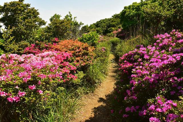 霧島山・韓国岳 ツツジの登山道