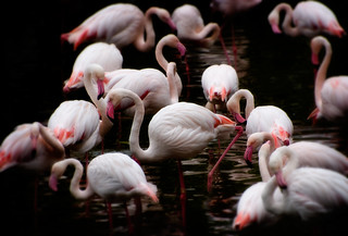 Flamingos | by EdBob