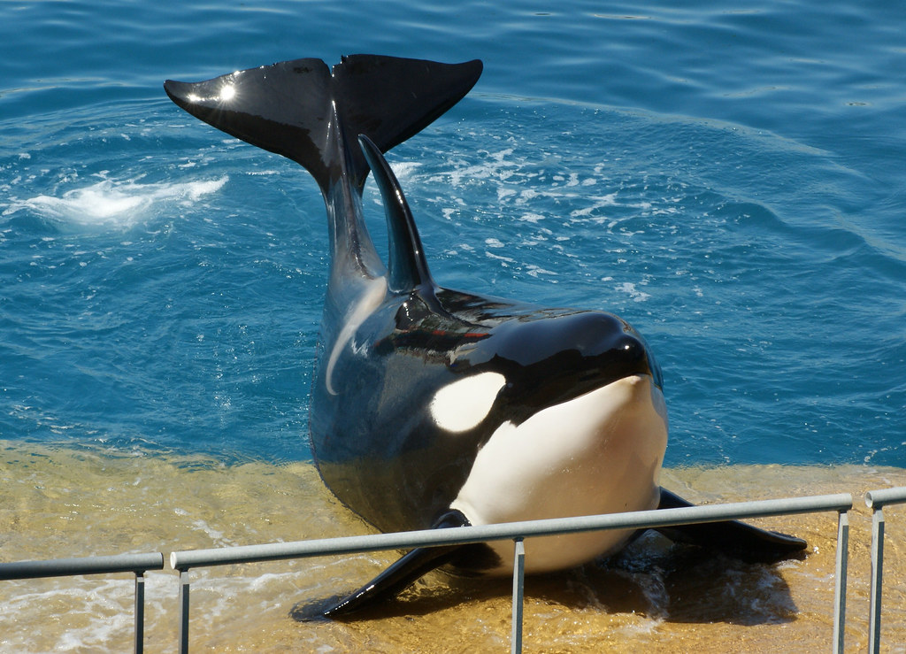 Killer Whale (Orcinus Orca), Marineland, Antibes | Used on ...