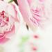 Dreamy pink peonies