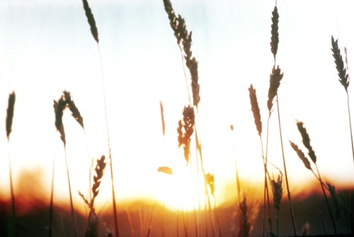 Farming for Development: Wheat Field in North Dakota | by United Nations Photo