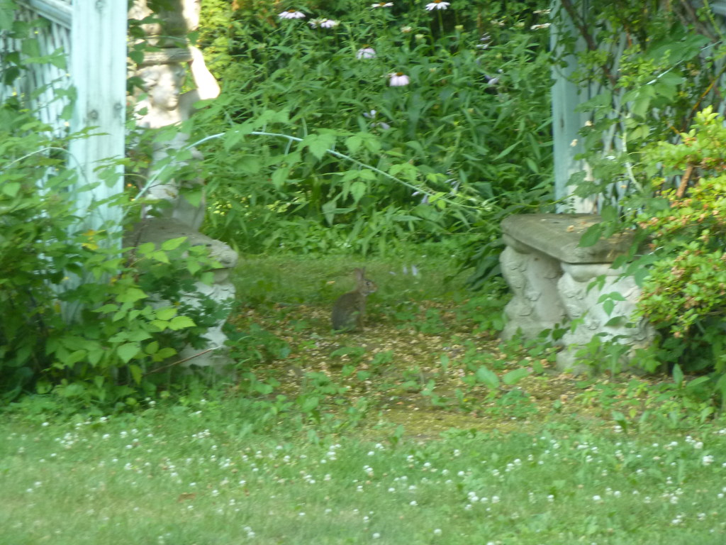 Wild Backyards : Wild Rabbits  Wild bunnies in our backyard  Lisa Jacobs  Flickr