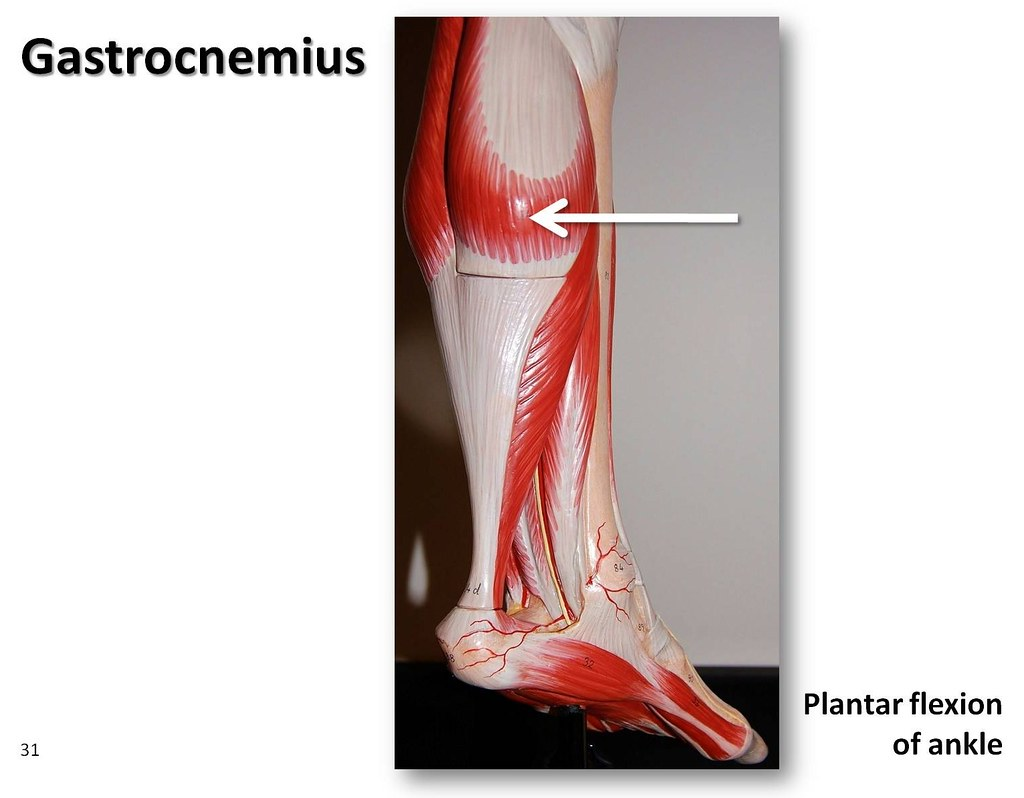 Gastrocnemius Muscles Of The Lower Extremity Anatomy Vis Flickr