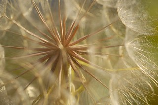 Salsify gone to seed. | by funpics 47