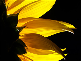 Sunflover backlight | by Houmr13
