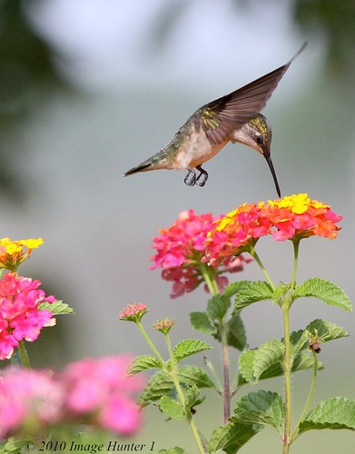 Hummingbird Feeding On Lantana Flower | by Image Hunter 1