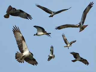 Osprey Montage | by Mrs Airwolfhound