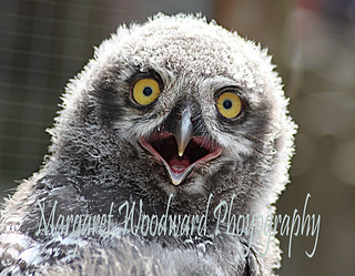 Baby Snowy Owl | by margaret.woodward