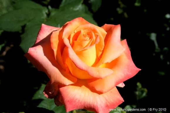 Caribbean rose