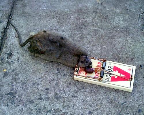 Huge Dead Rat New York Shankbone 2010 Big dead rat in