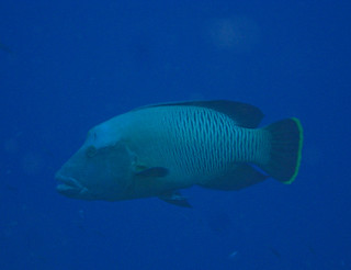 humphead wrasse (napolean) | by mtarlock