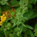 Solidago odora- Sweet Goldenrod