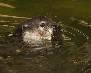 Otter | by Mandy Morgan