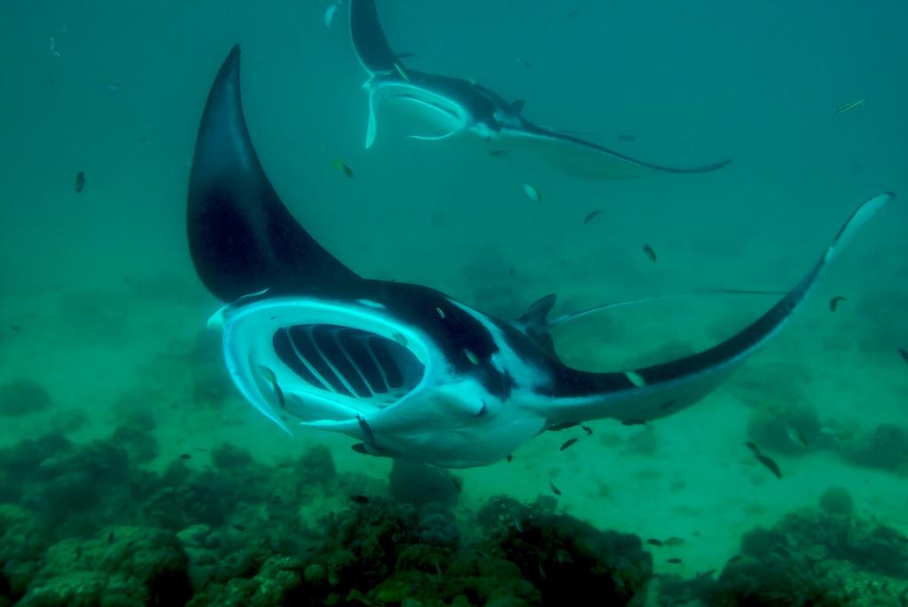 Swooping Manta Rays | Manta-sizing in Marovo Lagoon, Solomon… | Flickr