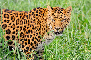 Leopard in the grass | by Tambako the Jaguar